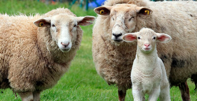 Organizan encuentro de productores ovinos