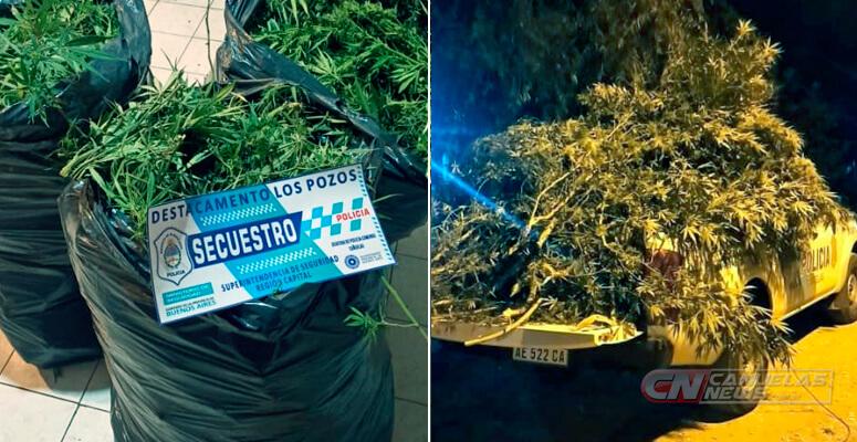 Secuestran 7 plantas de marihuana en un allanamiento